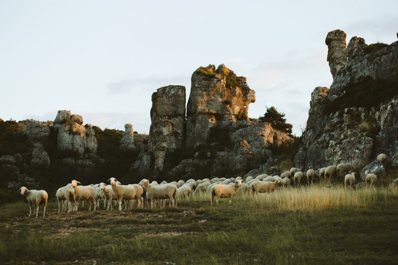 Sheep larzac culture landscape